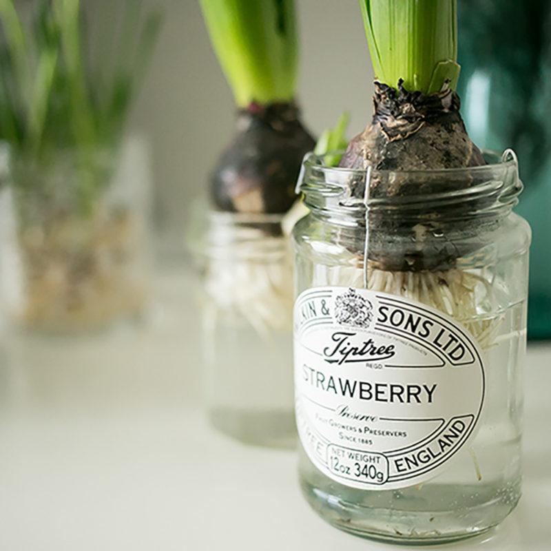 瓶でヒヤシンスの水栽培