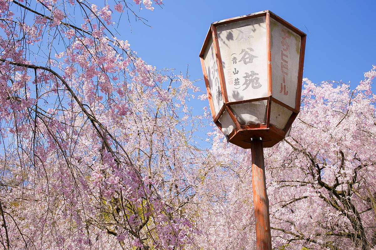 京都 原谷苑の枝垂桜