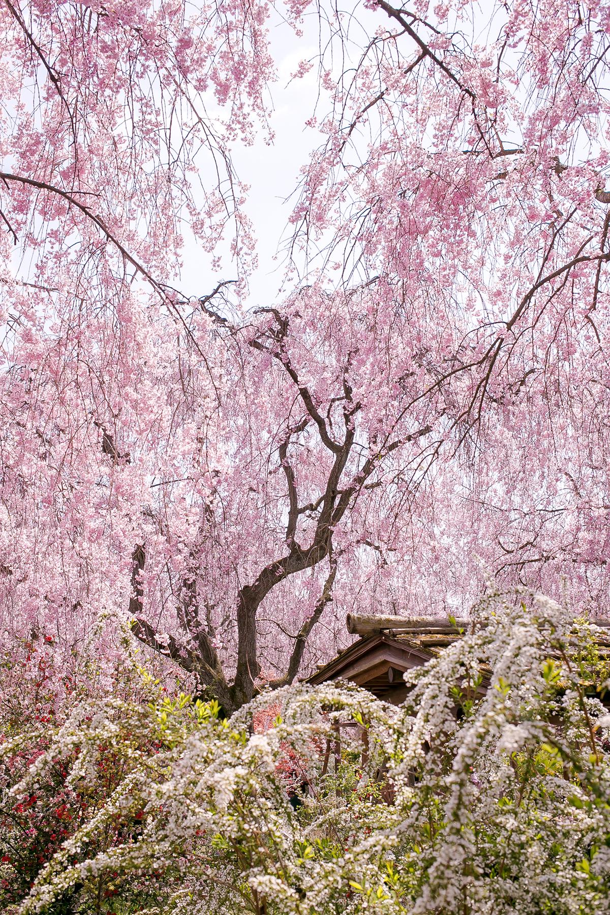 原谷苑 京都の隠れた桜名所