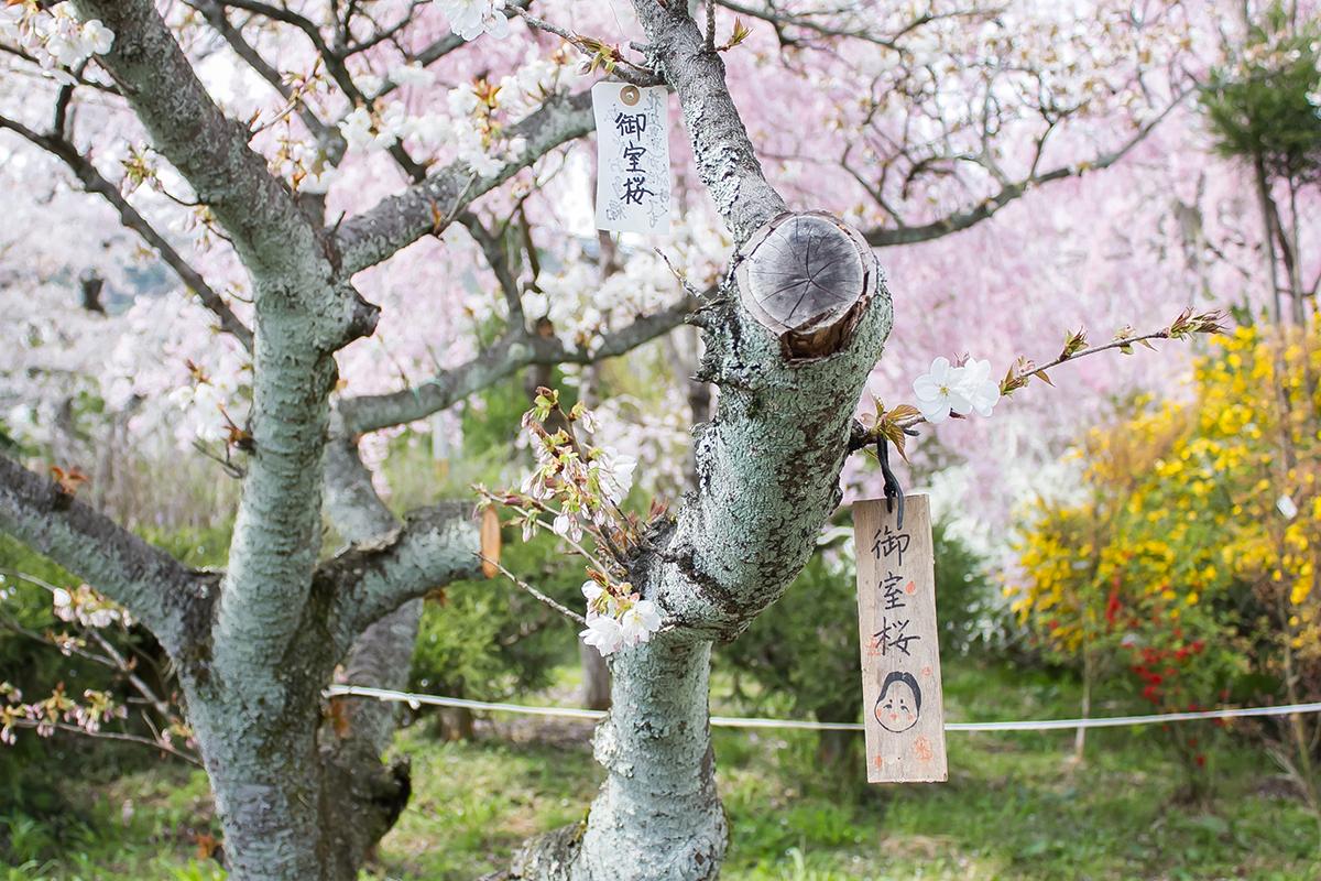 原谷苑の御室桜