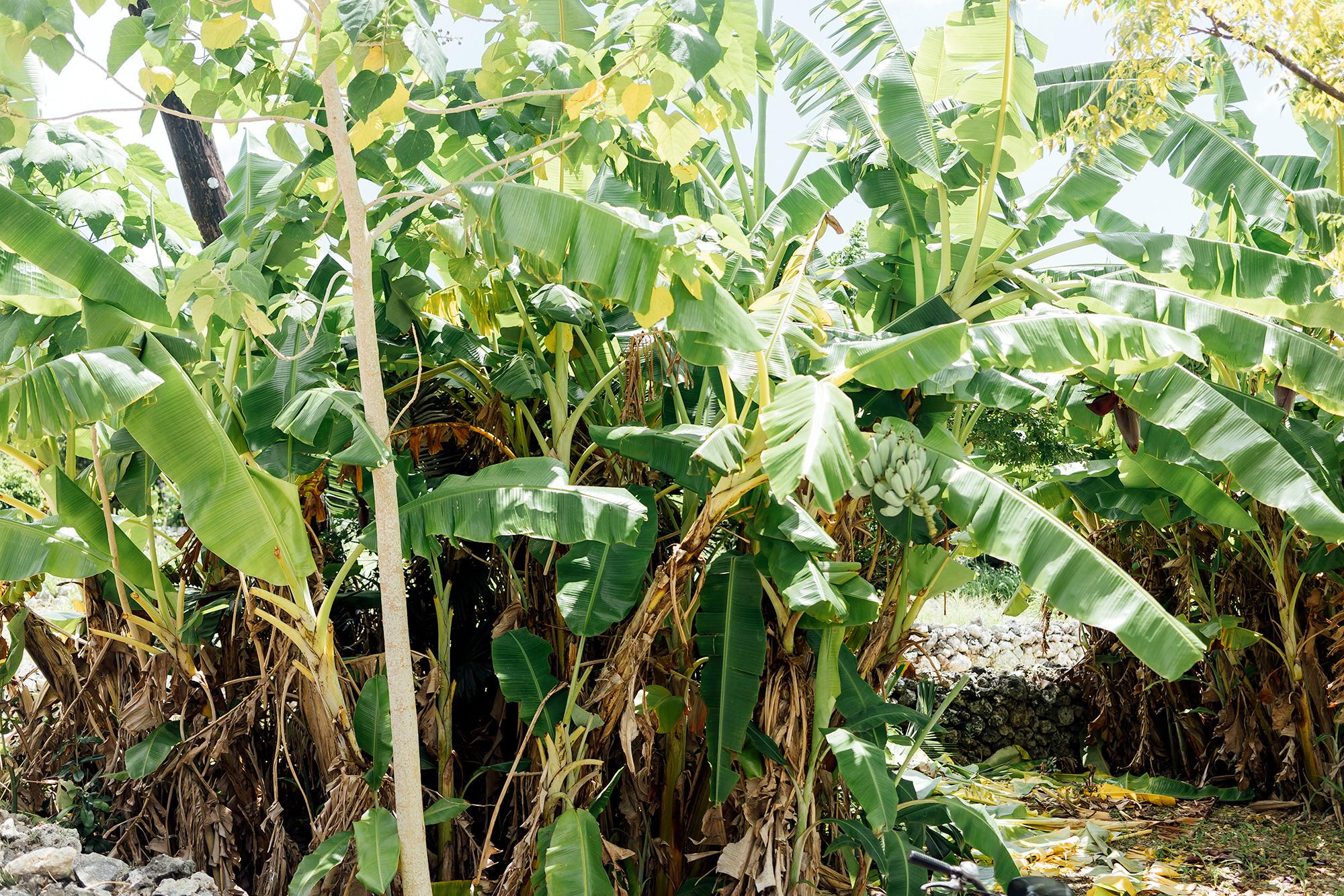 竹富島のバナナ