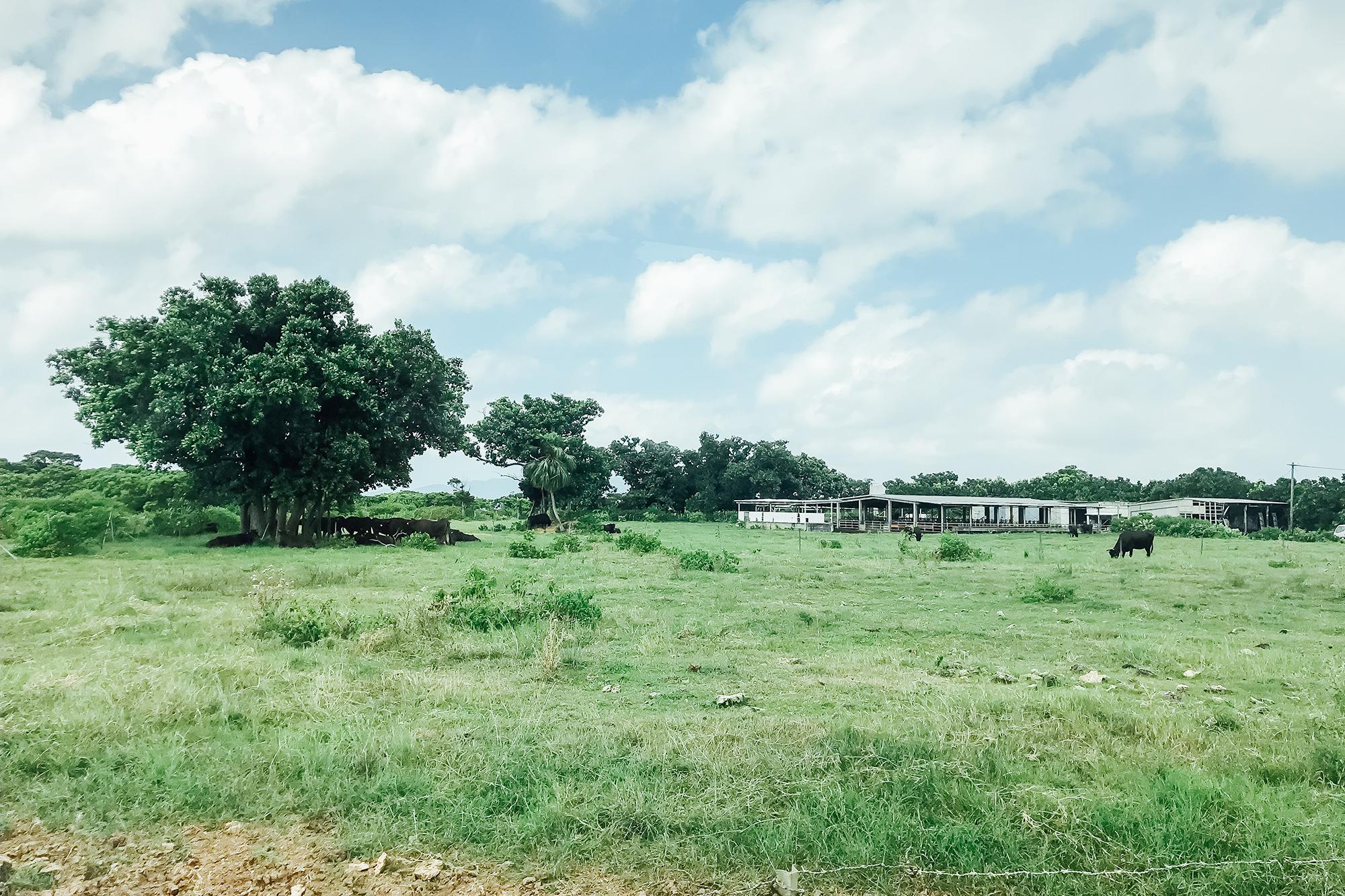 竹富島の牛