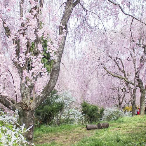原谷苑の枝垂桜